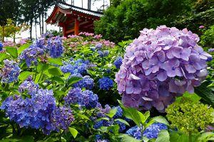 Kyôto: Mimuroto-ji 三室戸寺, le temple aux milliers de fleurs
