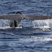 Blue whale numbers bounce back