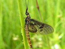 Ephémère mâle ou mouche de mai
