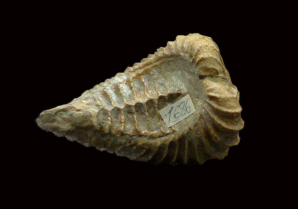 Trigonia aliformis