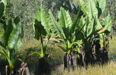 Les oreilles d'éléphant de Madagascar