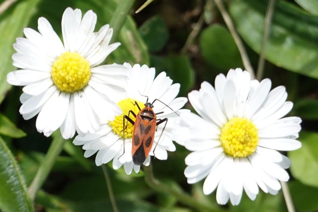 Punaise décorée (Calocoris nemoralis)