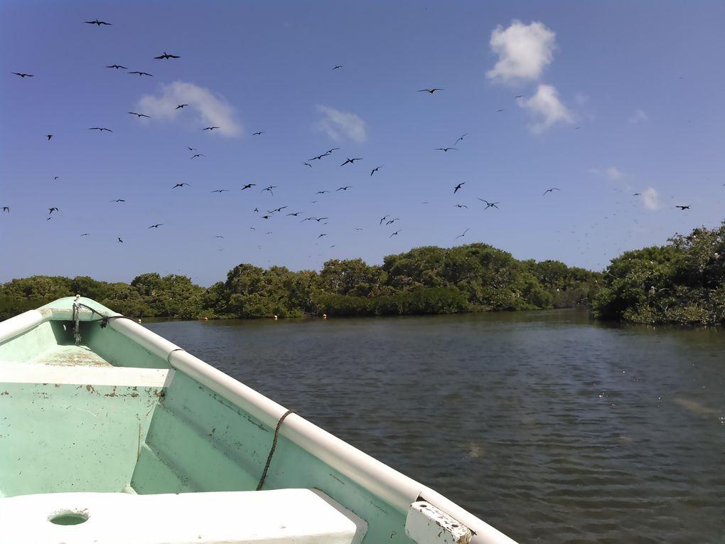 Parades nuptiales dans la mangrove