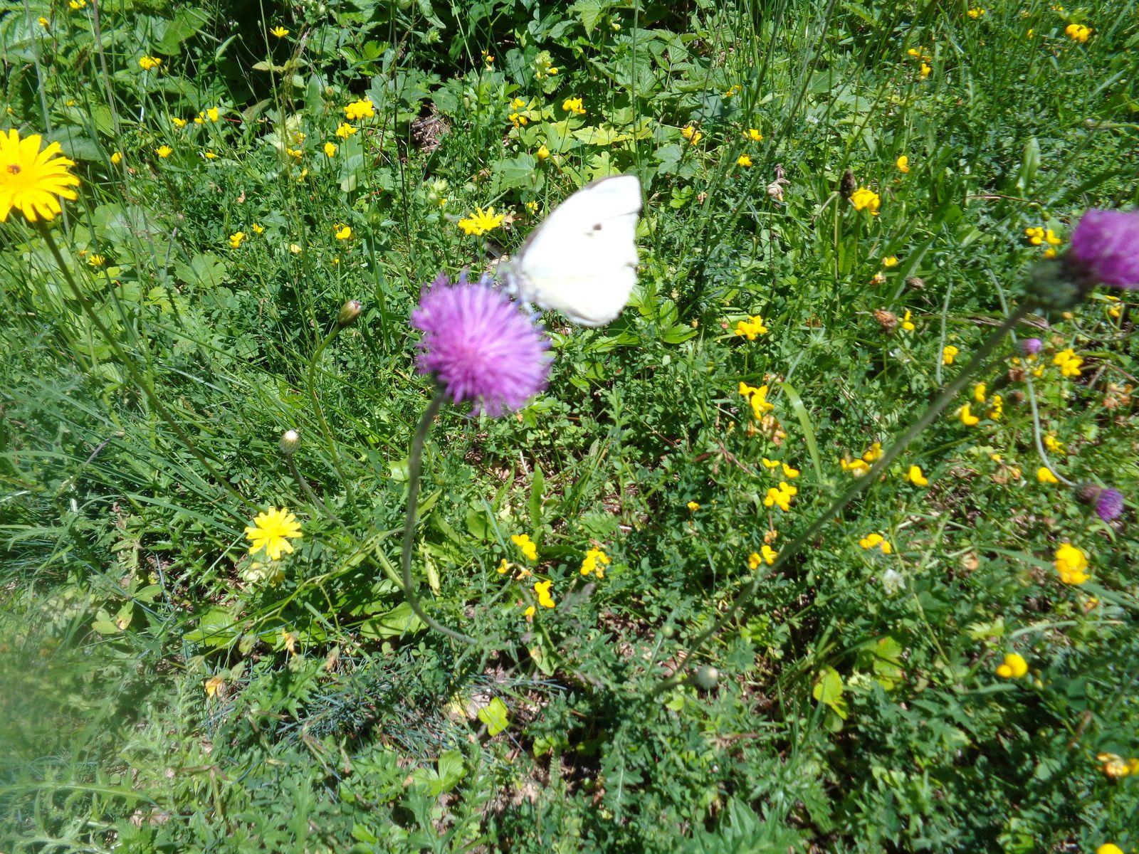 Carduus defloratus L.  Composée Chardon des Alpes