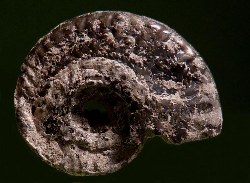 Fossiles des Marnes de Dives