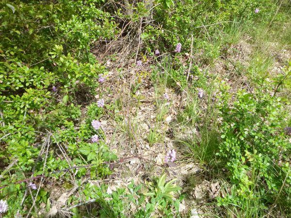 Spot d'orchidées... rose = Orchis singe, blanche = je ne connais pas son nom...