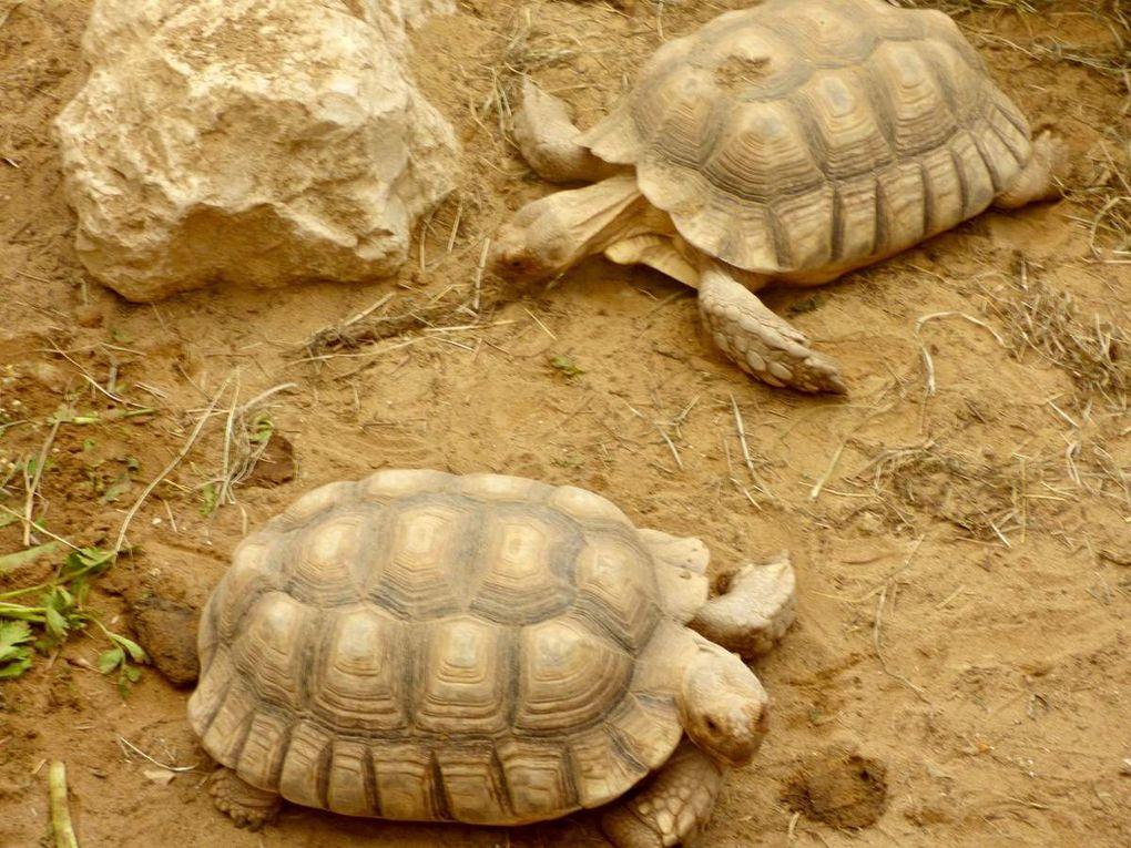 Les tortues se sont invitées auprès des crocodiles en 2002. Les premières à venir ont été les tortues géantes des îles Seychelles, de l'archipel des Galápagos, des steppes africaines et des grands fleuves d'Amazonie. En 2014, un couple de varans a aussi été accueilli. Et puis, il y a tous les oiseaux et les poissons exotiques. Il n'y a que l'éléphant que je n'ai pas croisé...