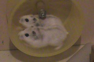 Apprivoiser son hamster...