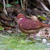 Colombe rouviolette - Geotrygon montana - Ruddy Quail-Dove
