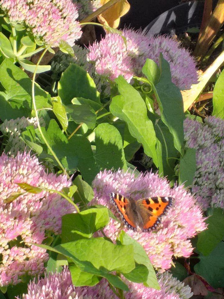 deux visiteurs butineurs  au jardin ; Victoria Lynn