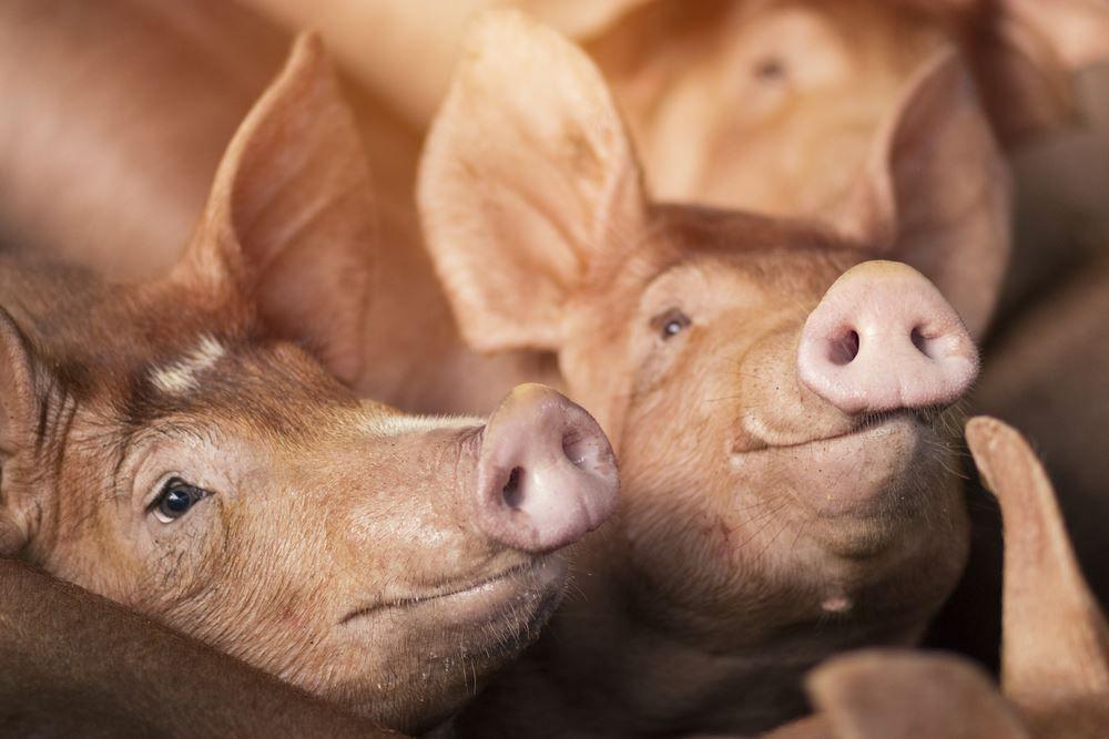 HALAL ET CASHER: La gélatine de porc, pourtant essentielle dans la stabilisation et la conservation des vaccins anti-covid a été retirée