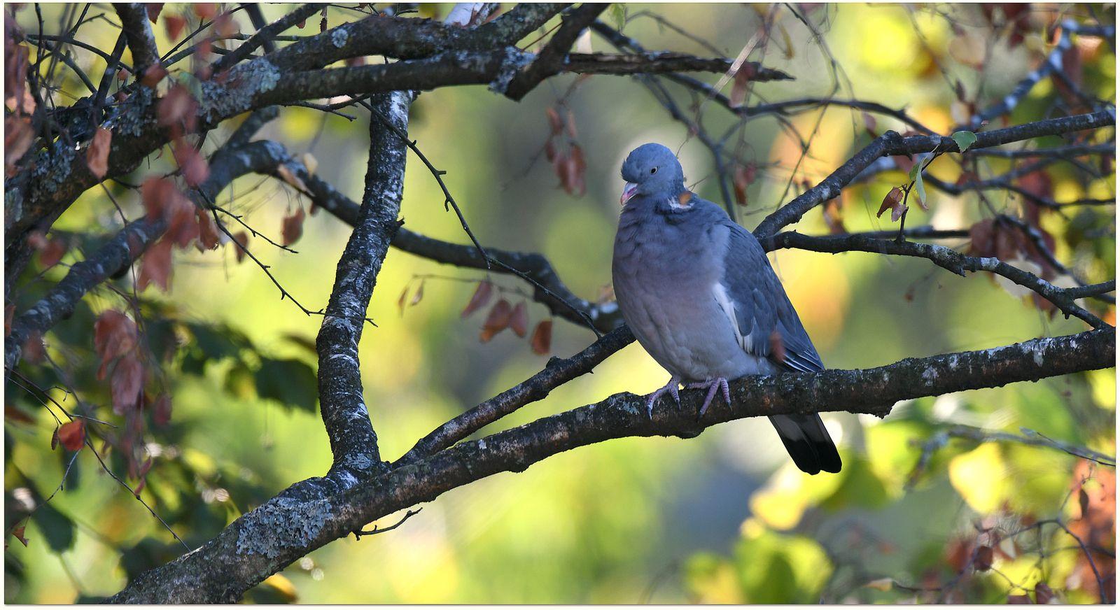le Pigeon ramier dont les effectifs semblent en augmentation (cliché Martial Queyrie)