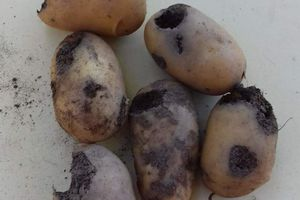 Après les doryphores, voici un ennemi invisible des pommes de terre