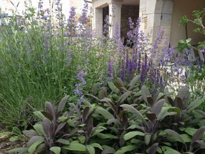 3 juin - Salvia officinalis purpurascens