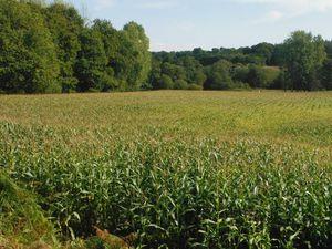 Maïs encore sur pied ; le maïs a été ensilé.