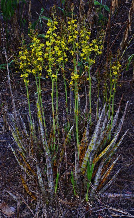 lieu : savane roche, Macouria - date : 14 novembre 2012 (floraison) puis 19 décembre 2012 (crémation)
