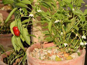 Dès la fin du mois de février, il s'est mis à fleurir et, très rapidement, les premiers petits poivrons sont apparus.