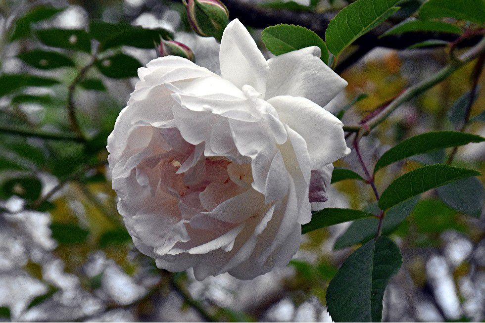 ODE A LA ROSE DE GRASSE (DANS MON JARDIN)