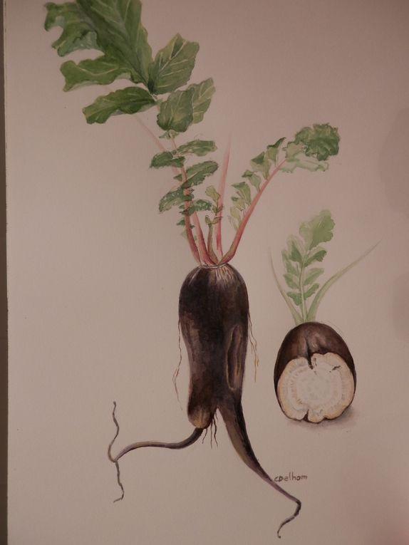 Aquarelles, légumes et cucurbitacées