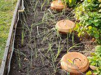 Le sol préparé non loin des Tours de Fraises, et les plants une fois repiqués, puis légèrement paillés.