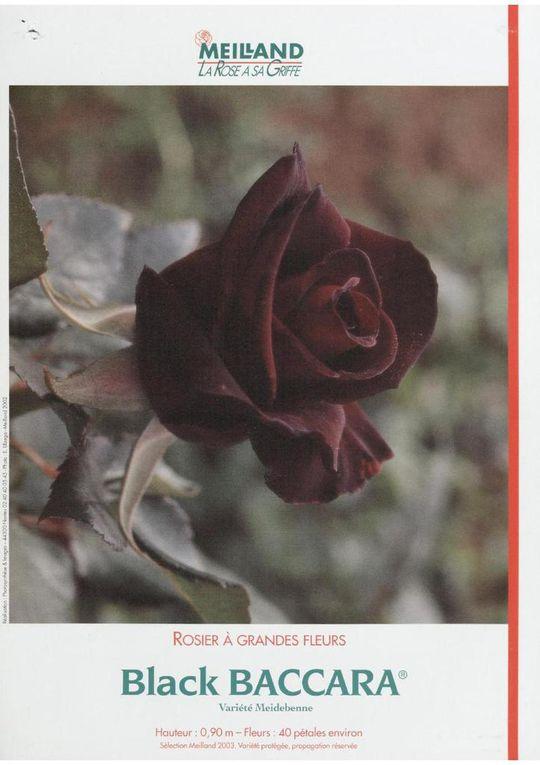 fiche Meilland Black Baccara