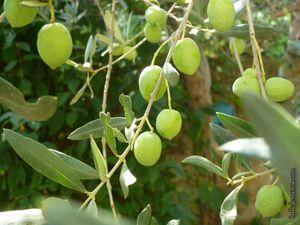 Les quatre étapes pour démarrer les olives cassées...