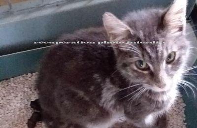 Jeune chat blanc et gris tigré mâle trouvé sur Machecoul-Saint-Même 44270