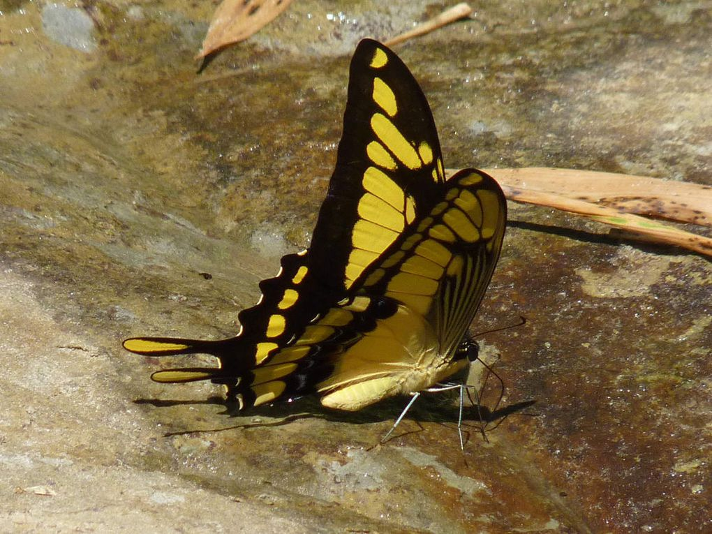80 Grand Porte-Queue (Papilio cresphontes, Giant Swallowtail), Mishualli, Equateur