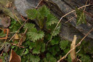 Les plantes sauvages comestibles sortent de terre
