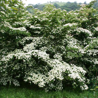 Cornouillers à fleurs (Cornus sp.) un genre exceptionnel