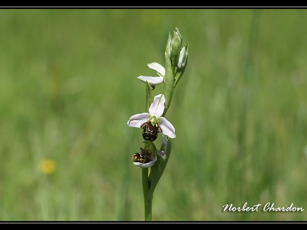 Ophrys abeille pesquiers