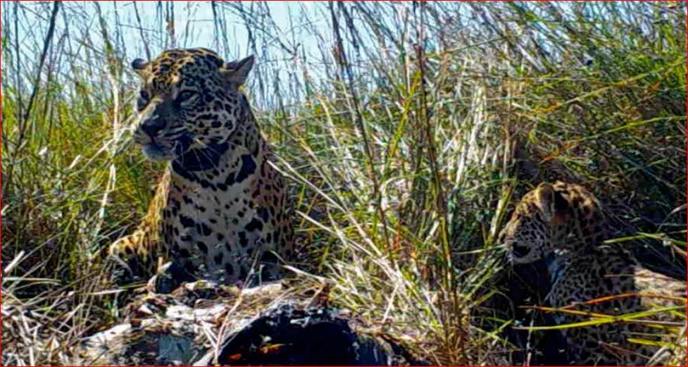 Réintroduction de jaguars dans le nord-est de l'Argentine
