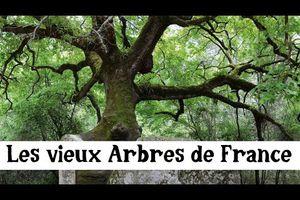 Les plus vieux Arbres de France
