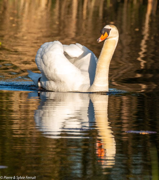 Cygne tuberculé (FR) - Mute Swan (EN) - Knobbelzwaan (NL) - Cygnus olor