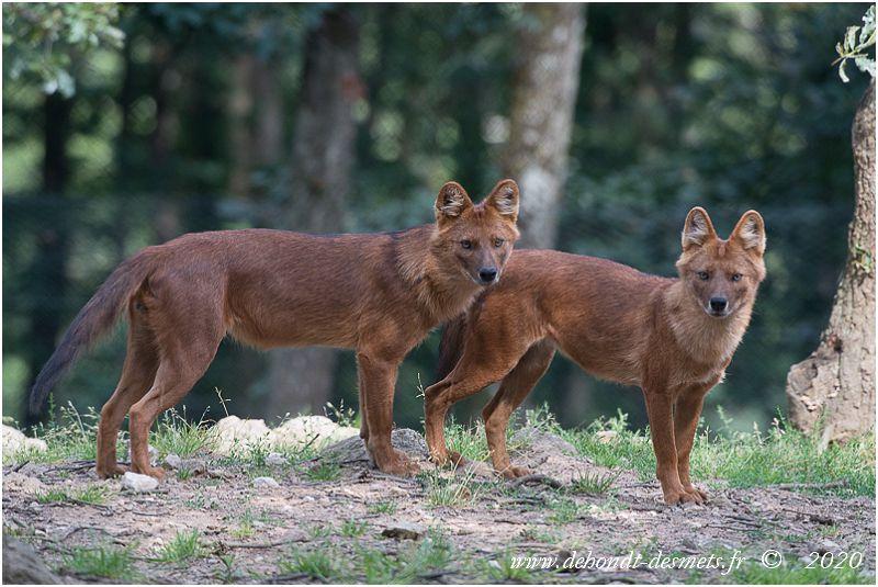 Les prédateurs naturels du cerf sambar sont nombreux : tigre, léopard, dhole, hyène rayée, lion d'Asie, ours noir, crocodile, dragon de Komodo, etc.