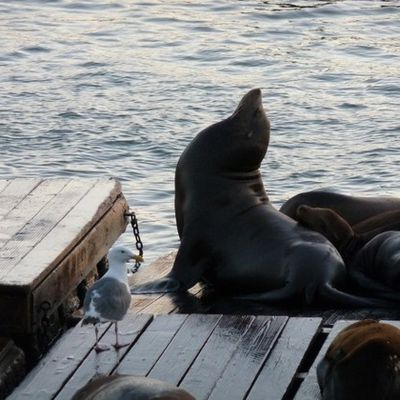Pier 39 - Lions de mer