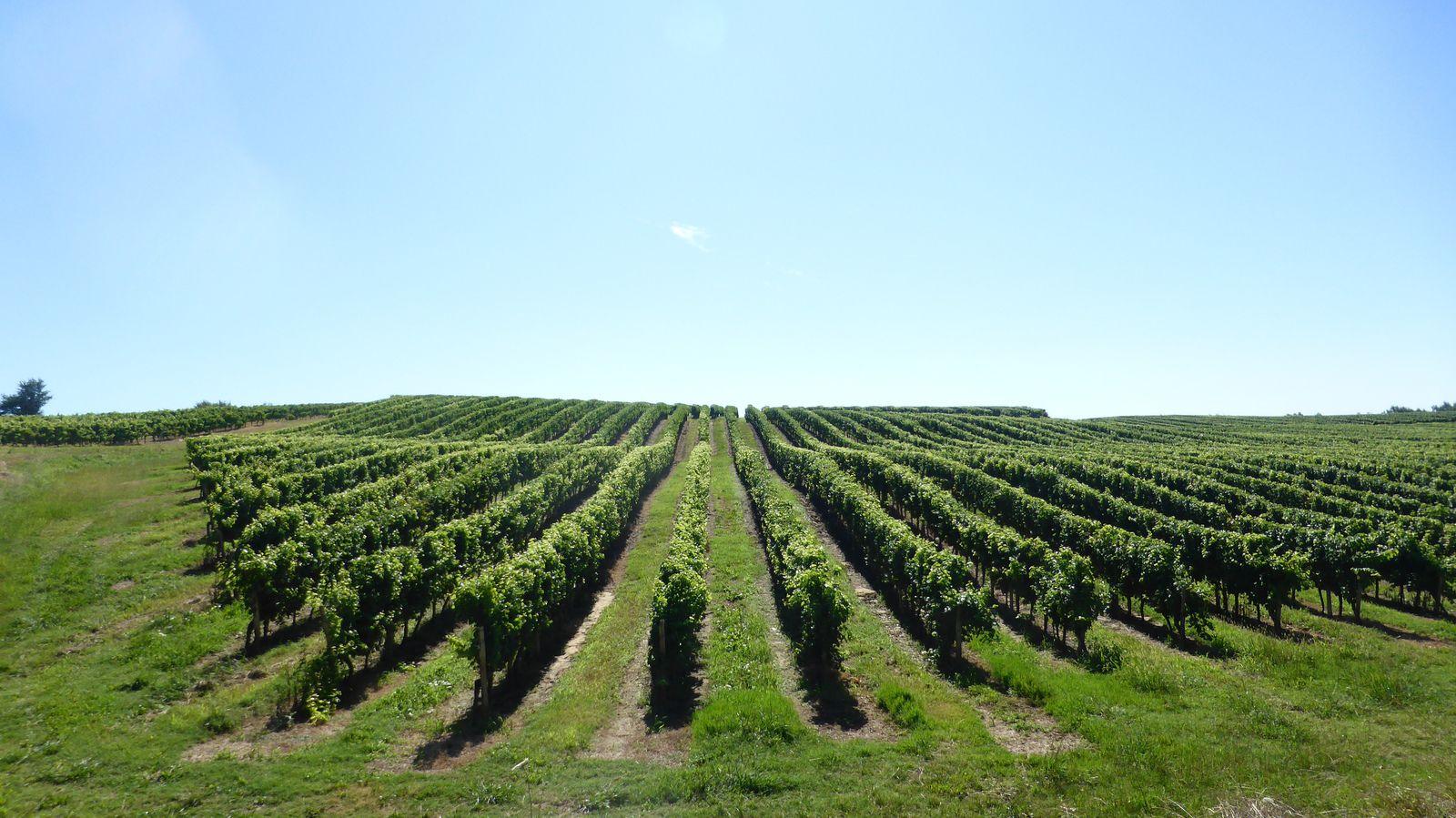 Les vignes de Manciet.
