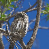 Chevêchette naine - Glaucidium gnoma - Mountain Pygmy Owl