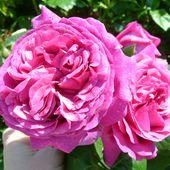 Découvrez le rosier Chartreuse de Parme - plaisir-jardin.com