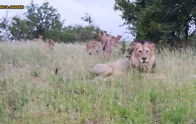 Watch Out, There S A Pride Of Lions Behind You!