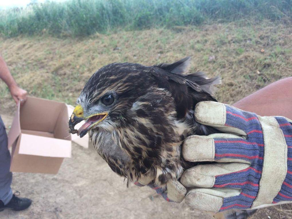 Petit passage en fin de circuit au G.O.R.N.A (Centre de sauvegarde de la faune sauvage), où séjourne dorénavant, la jeune buse blessée, tombée du nid que j'ai sauvée quelques jours auparavant.