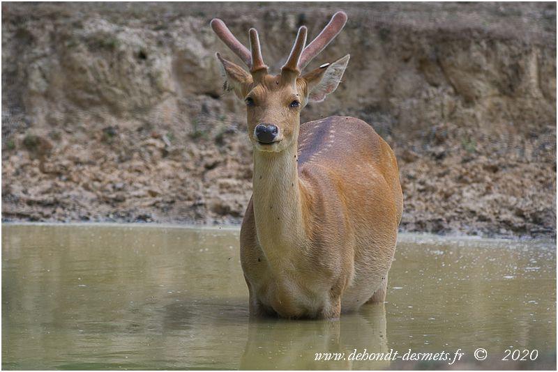 Le barasingha se rencontre dans les zones marécageuses du nord de l'Inde dans lesquelles il se déplace facilement sans s'enfoncer grâce à des sabots adaptés à la marche sur sols humides.