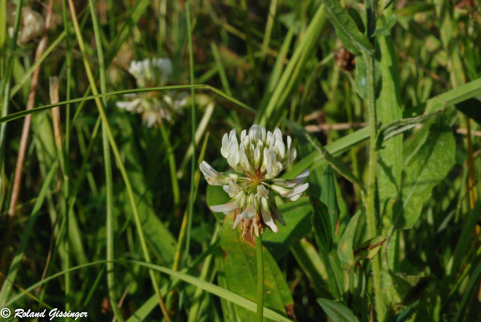 Trèfle rampant, Trèfle blanc, Trèfle de Hollande (Trifolium repens)