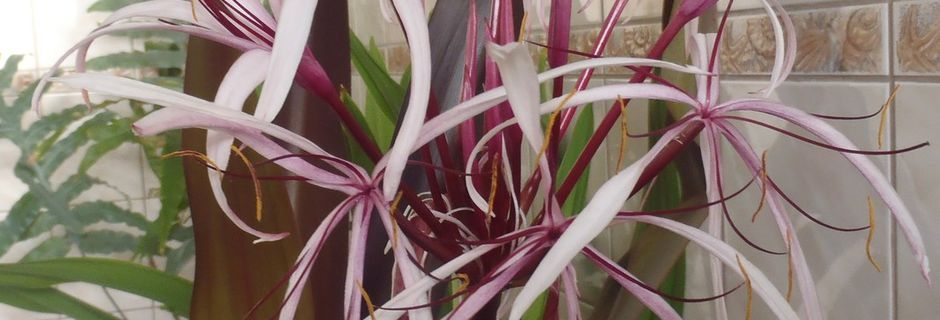 Crinum amabile purple
