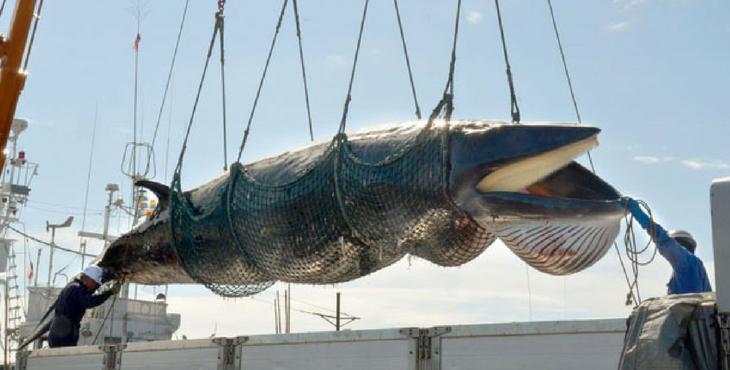 La flotte de baleiniers japonais est repartie aujourd'hui pour l'Antarctique