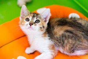 Maïna, chaton femelle isabelle, à l'adoption -> adoptée