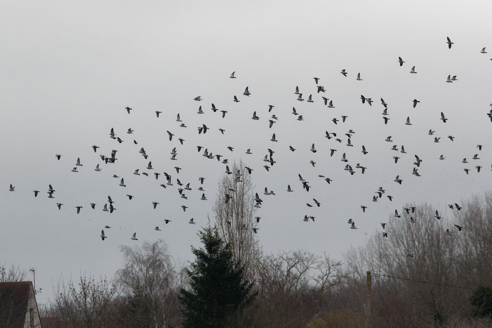 Nuage de Pigeons colombins.