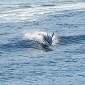 Les dauphins vus par Thierry Hugues photographe de la NAVE VA - Le Dauphin Corse
