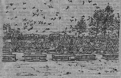 Des pigeons voyageurs par dizaines de milliers