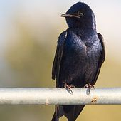 Purple martin - Wikipedia